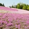 秩父の羊山公園芝桜の見頃とアクセス